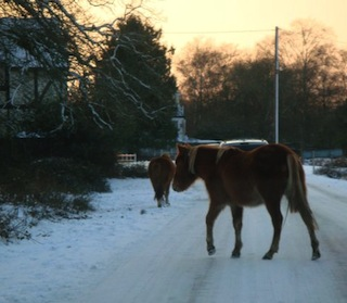 Wild ponies are common in the New Forest district of Hampshire.